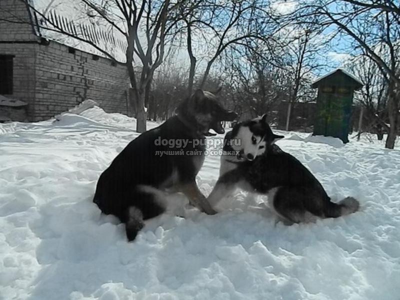 порода собак хаски фото цена и особенности