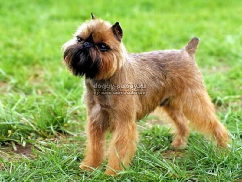 маленькие собачки породы особенности фото и цены