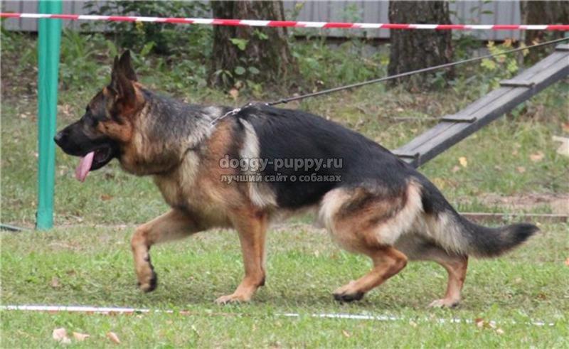 Воспитание и дрессировка щенка немецкой овчарки