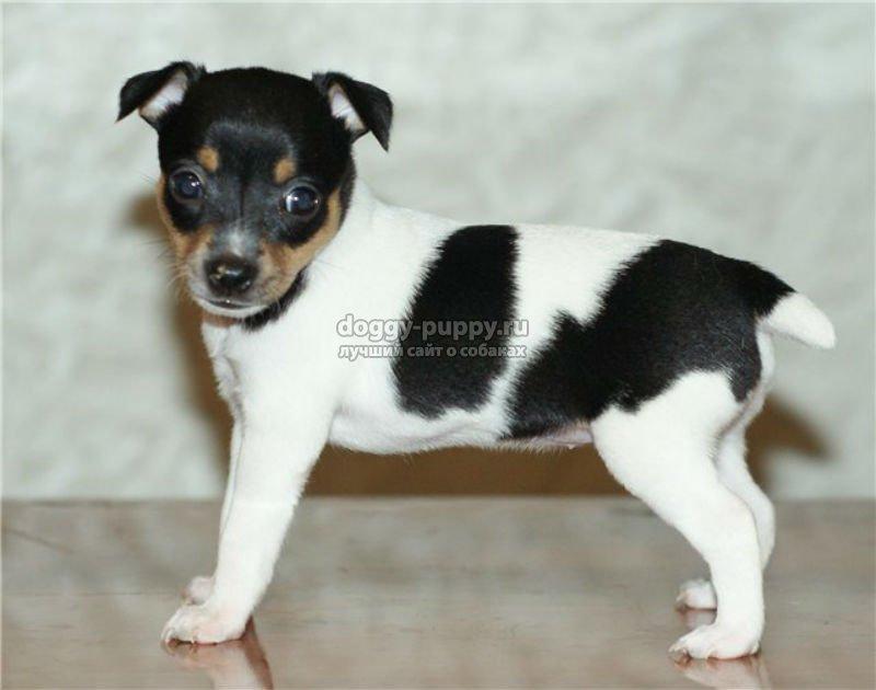 порода собаки фокстерьер фото, цена и особенности