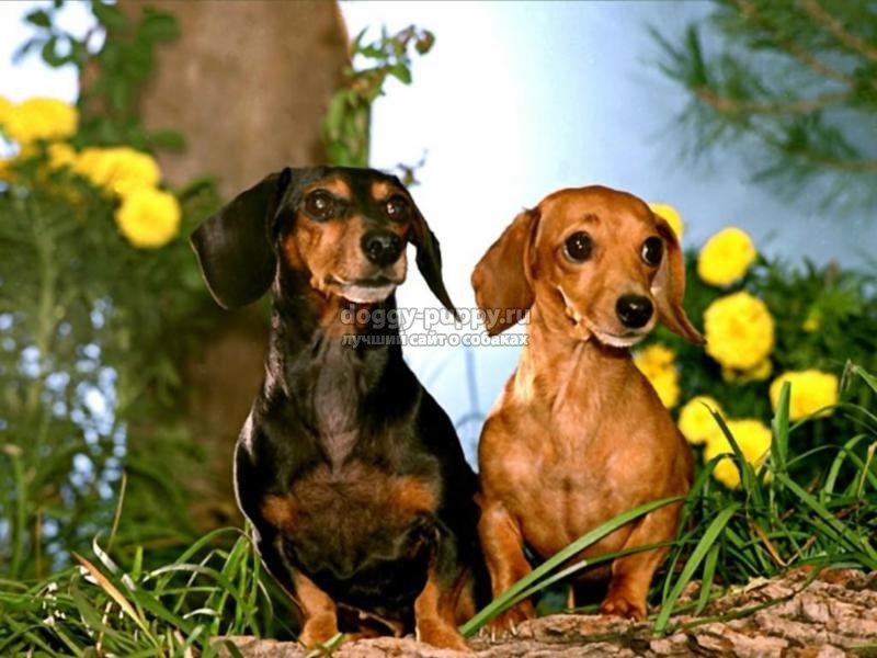 порода собак такса фото, цена и особенности