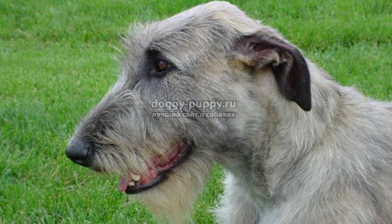 ирландский волкодав фото цена и особенности
