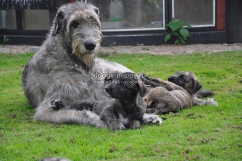 щенки ирландский волкодав