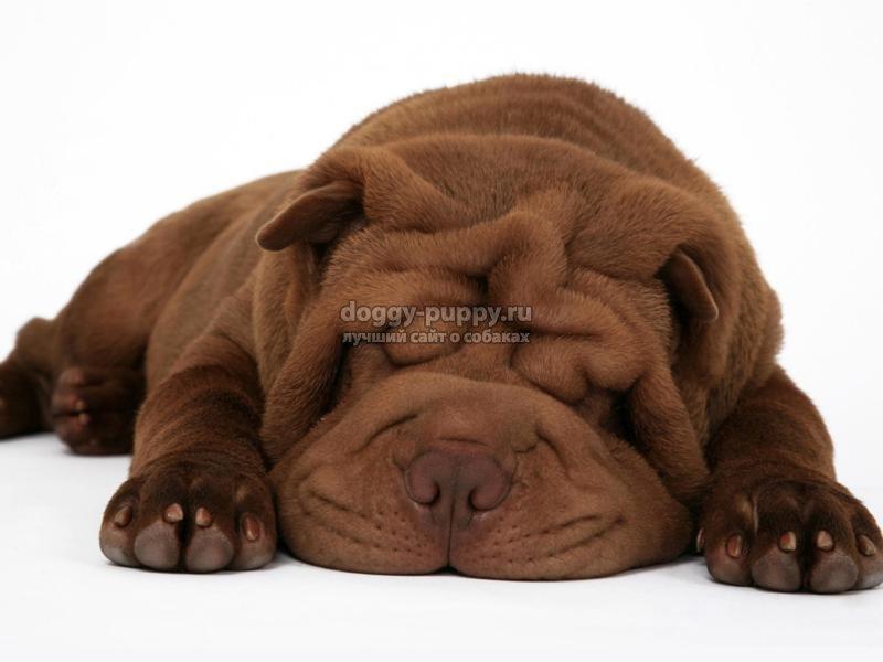 порода собаки шарпей фото цена и особенности