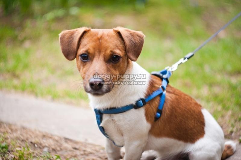 собака из фильма Маска джек-рассел-терьер
