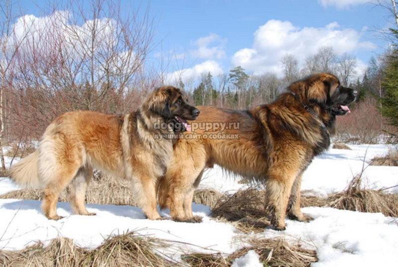 самые большие собаки особенности фото и цена