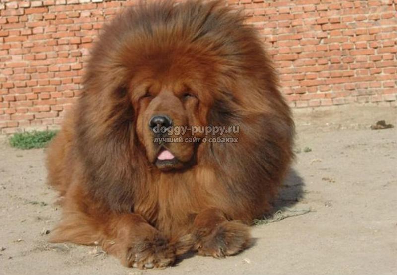 тибетский мастифф фото цена и особенности