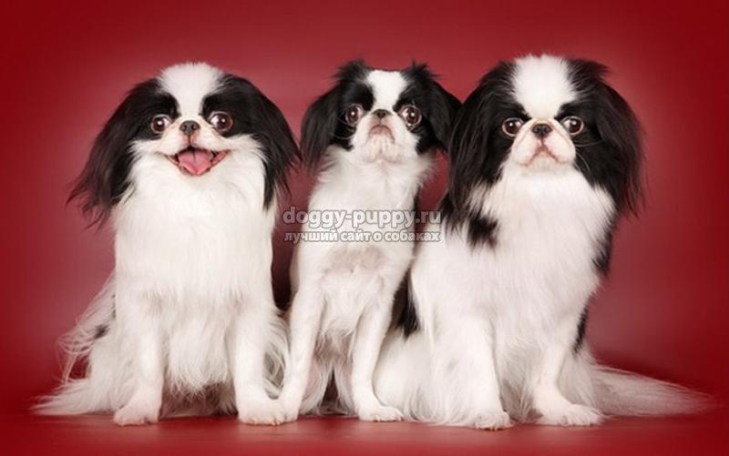 Японский хин: фото японского хина, порода собак японский хин или японский спаниель.