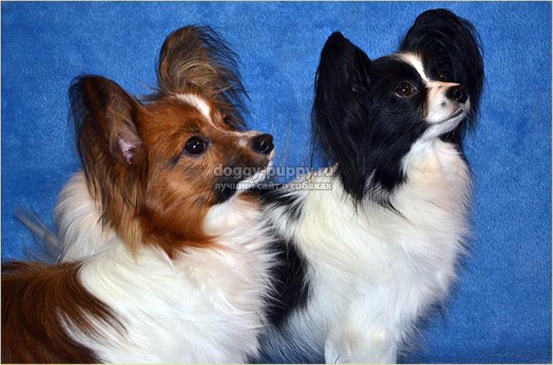 порода собак папильон фото цена и особенности