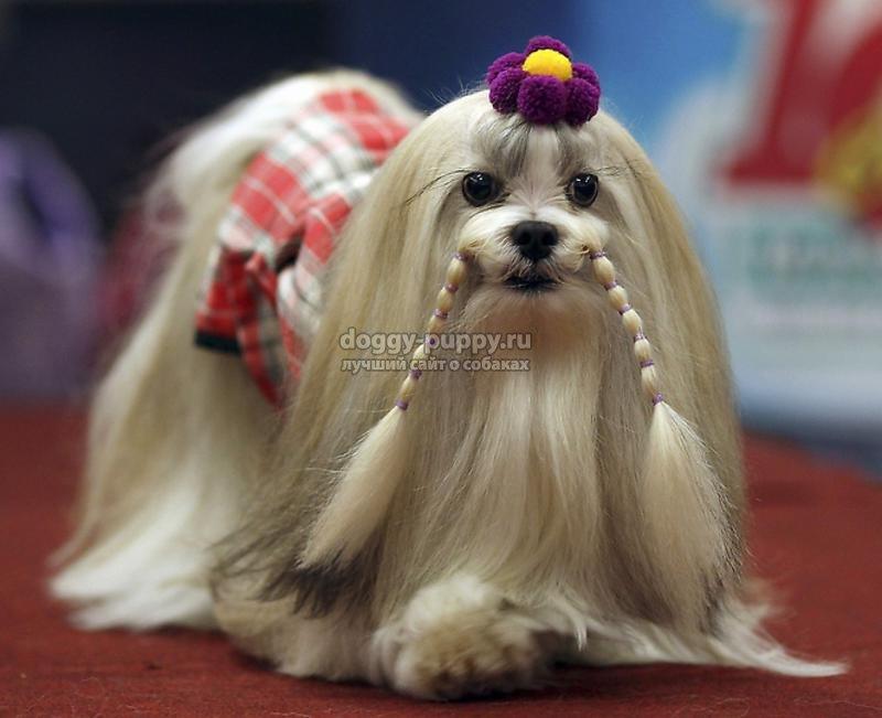 порода собак лхаса апсо фото цена и особенности