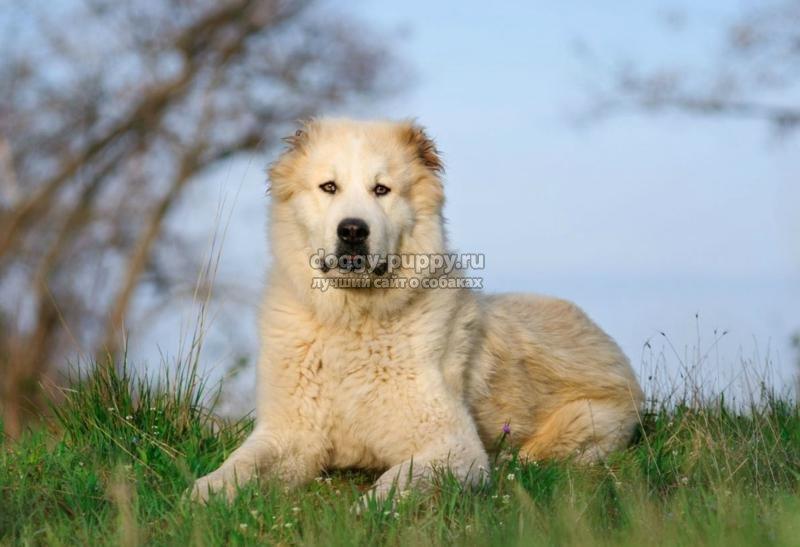 азиатская овчарка: особенности, фото и цена