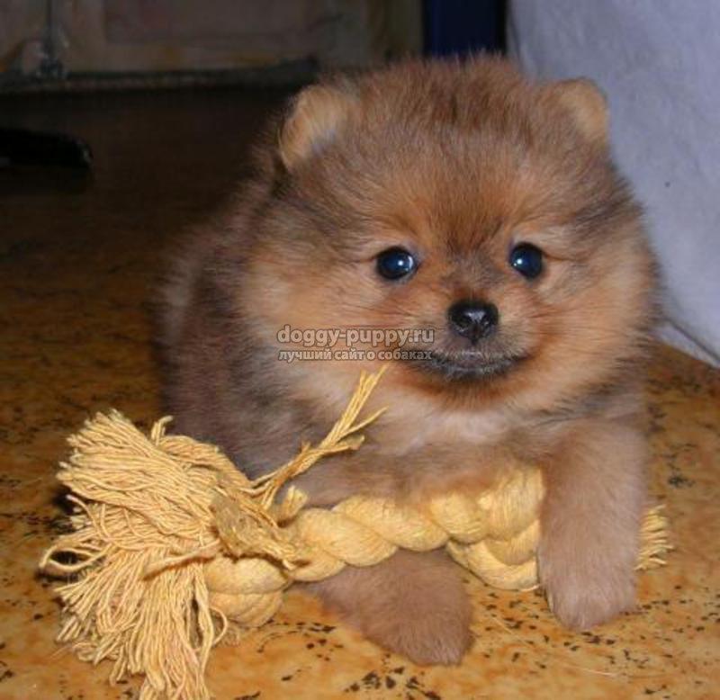 декоративные породы собак описания фото и цена