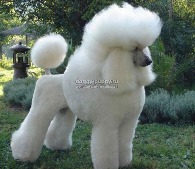 белая собака порода фото цена и особенности