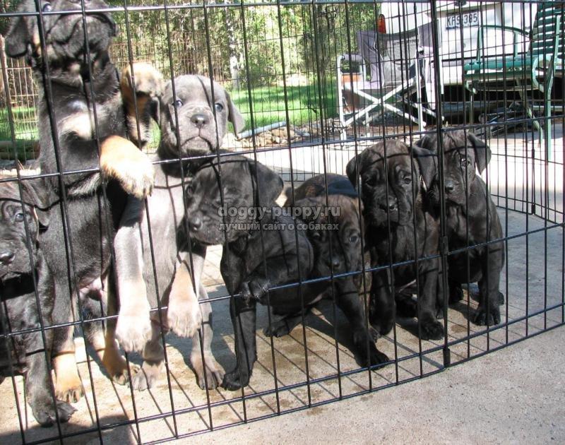 кане корсо щенки: кормление, уход и воспитание
