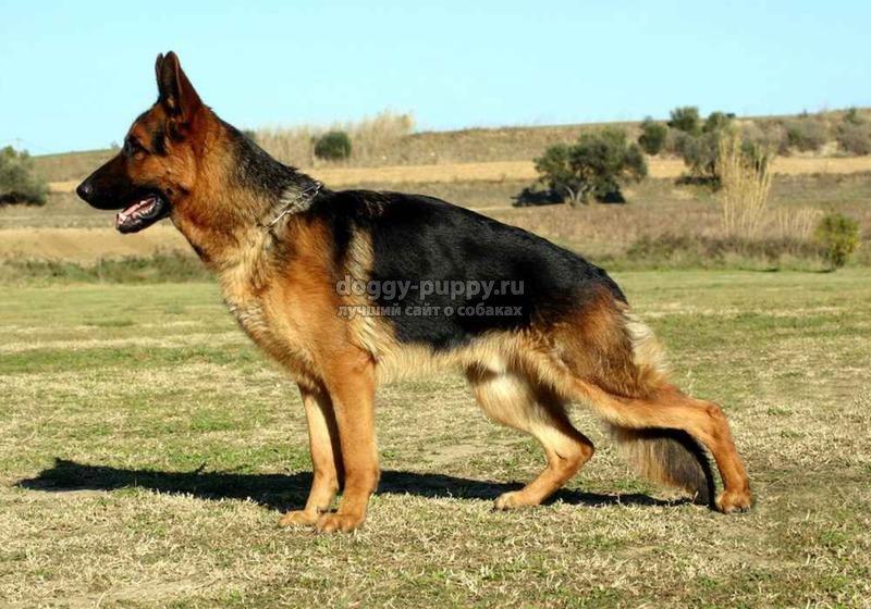 клички собак овчарок: какие лучше и что означают