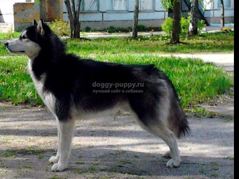 черно-белые собаки; описание, фото и цены
