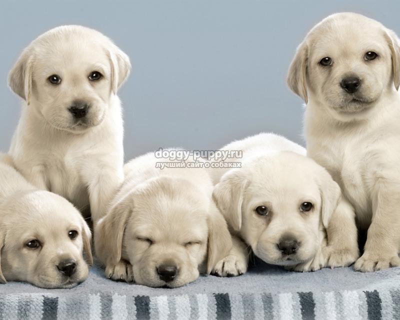 клички собак лабрадоров и их значение