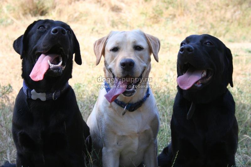 Лабрадор порода собак фото