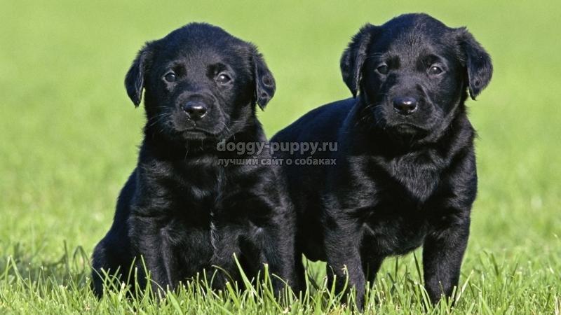 лабрадор черный: фото, описание породы, цены