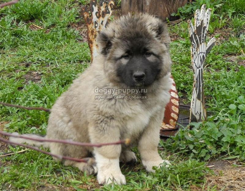щенки кавказской овчарки: описание, фото и цены