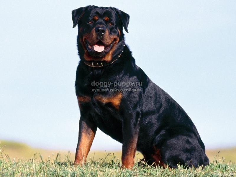 сторожевые собаки: описание, фото и цены