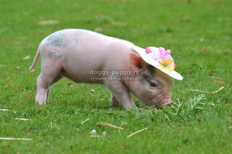 свинки мини-пиг: описание, фото и цены