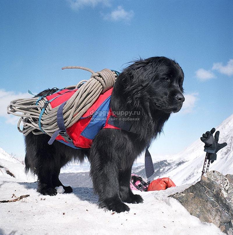 крупные собаки: описание пород и фото