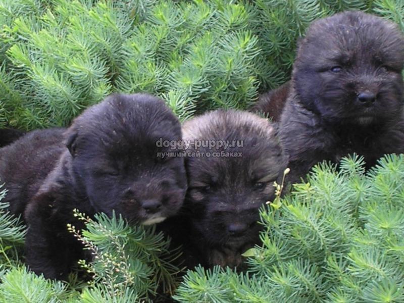 щенки черной овчарки: описание, фото и цены