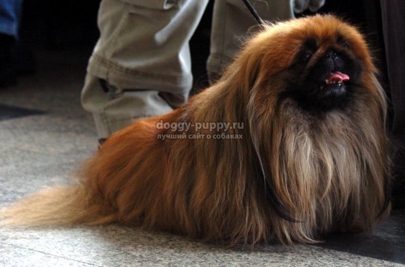 Собаки карликовых пород