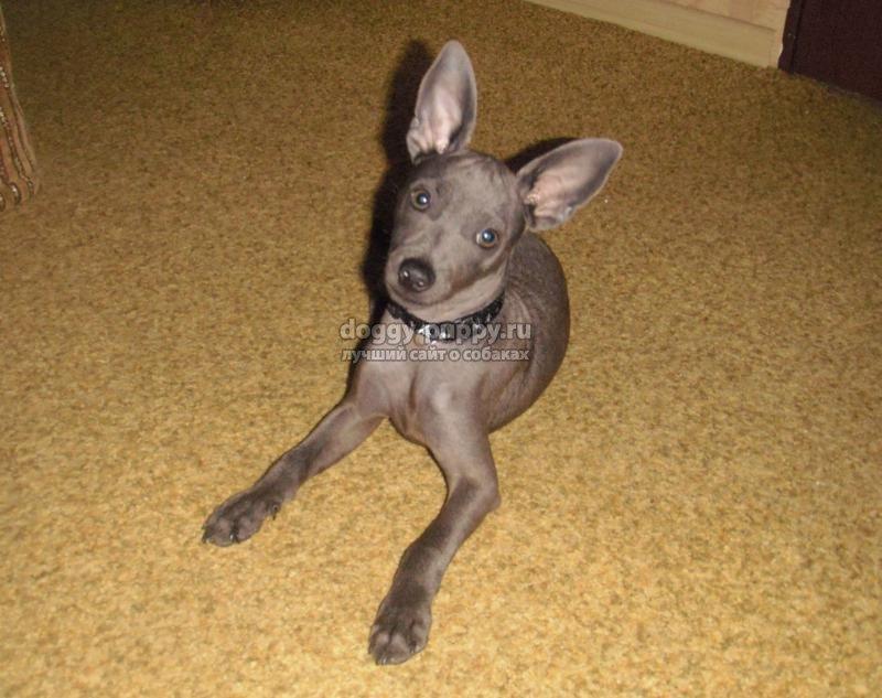 карликовые породы собак: ТОП-10 описание с фото