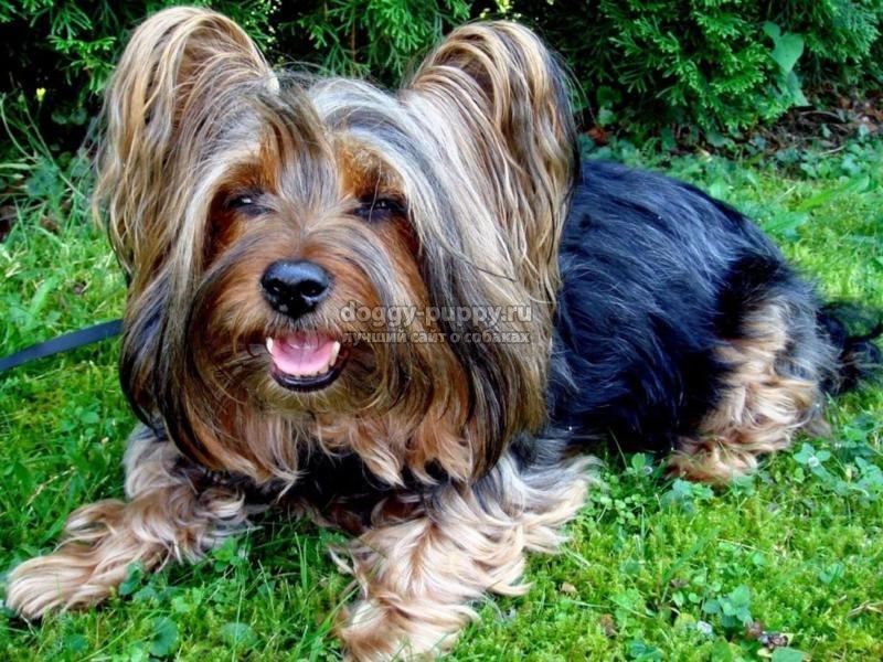 комнатные собаки: описание, фото и цены