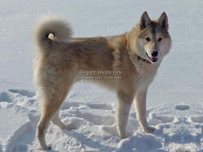 Характеристика собак группы пород Лайка, классификация, фото питомцев