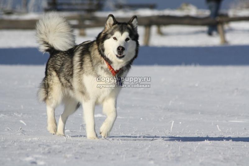аляскинский маламут: описание, фото и цены