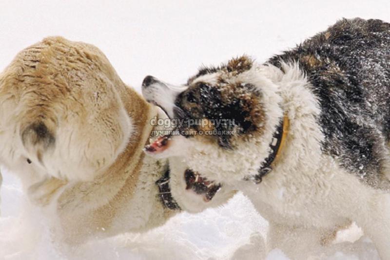 бойцовские собаки: описание, фото и цены