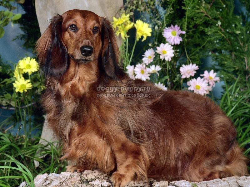 чумка у собак: симптомы и лечение