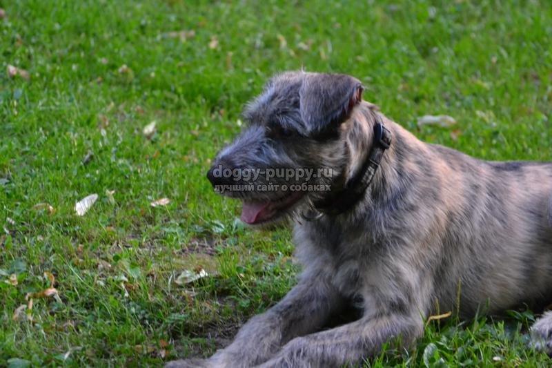 щенки ирландского волкодава: фото, цена и особенности