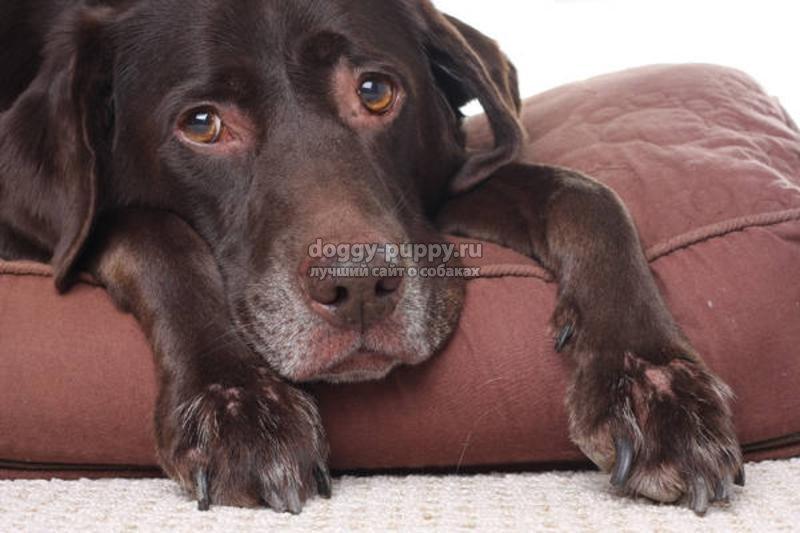 демодекоз у собак: лечение и препараты