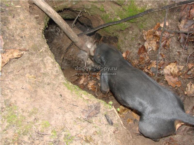 норные собаки: описание, фото и цены