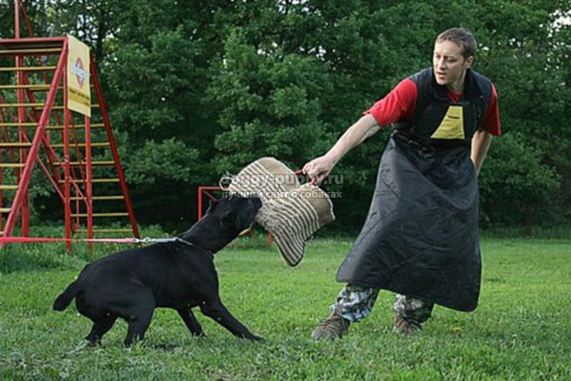 дрессировка кане корсо: советы, видео и фото