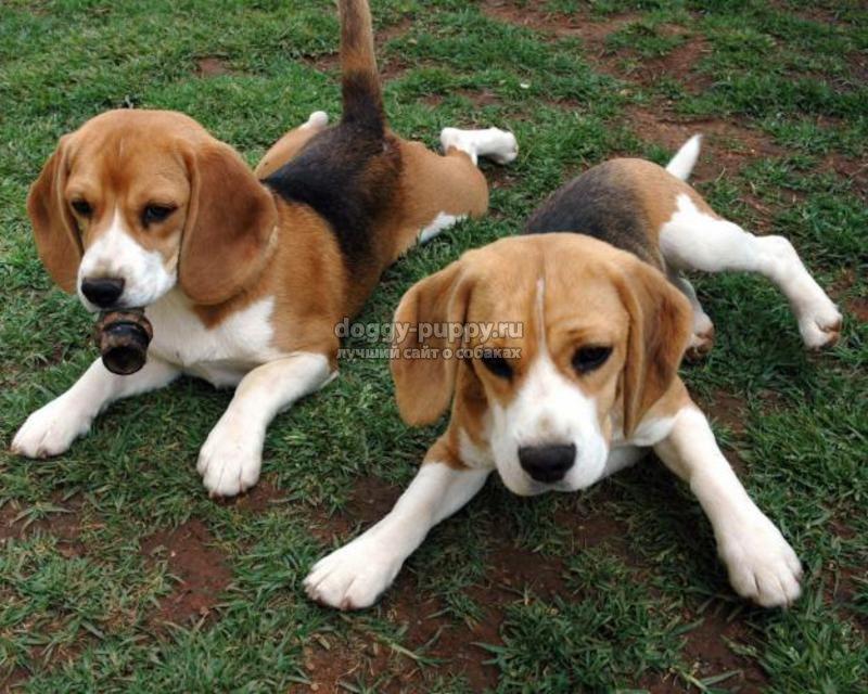 самые лучшие собаки для детей: ТОП-10