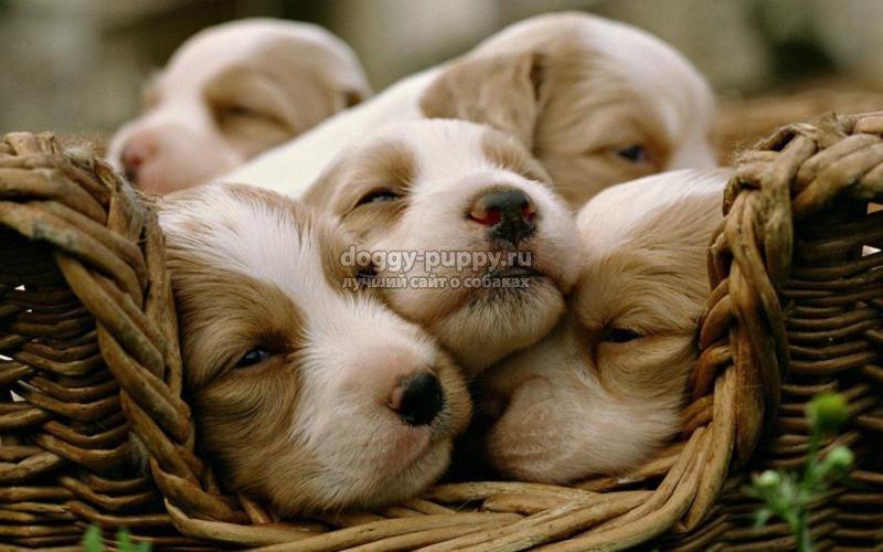щенки спаниеля: воспитание, описание и фото