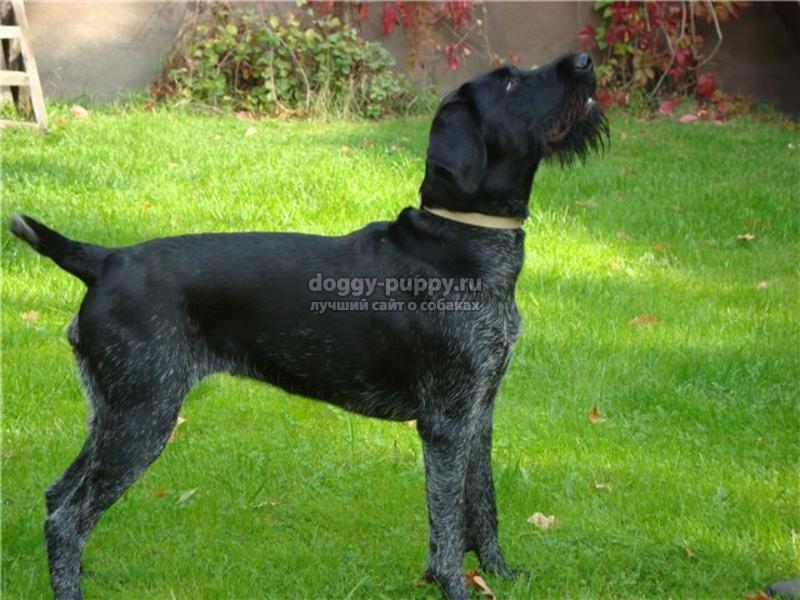 черный дратхаар собака фото