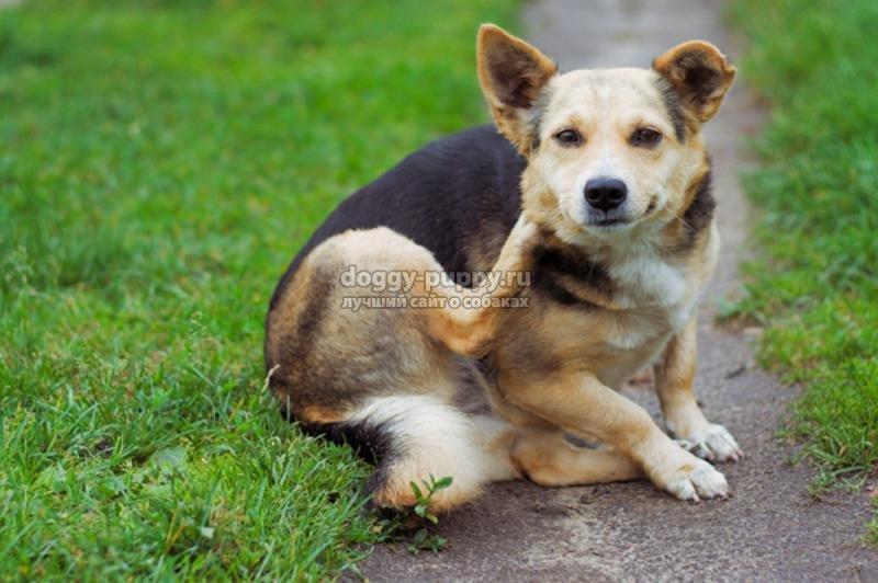 клещи у собаки: симптомы, лечение и фото