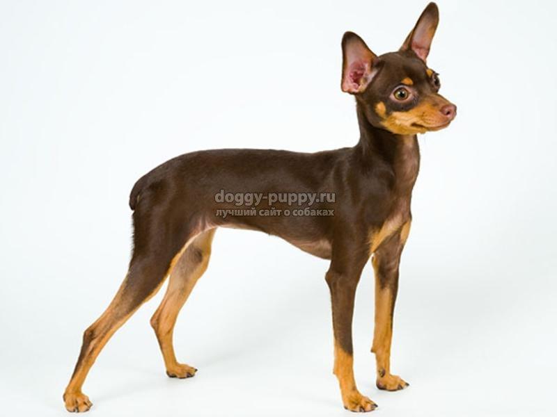 собака той-терьер: описание, фото и цена