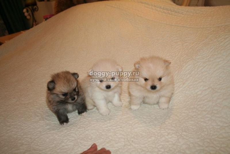 померанские щенки: описание, фото и цена