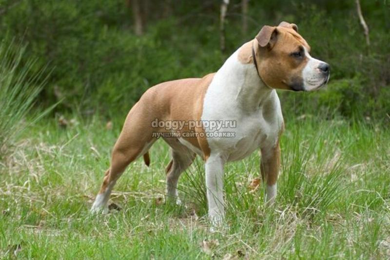 самые преданные собаки: ТОП-10. Фото и описание