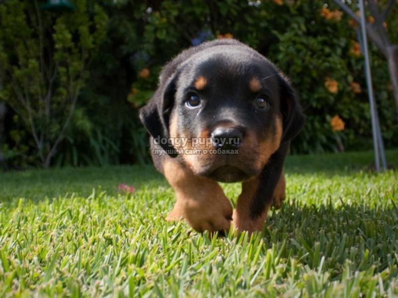 щенки ротвейлера: описание, фото и цена