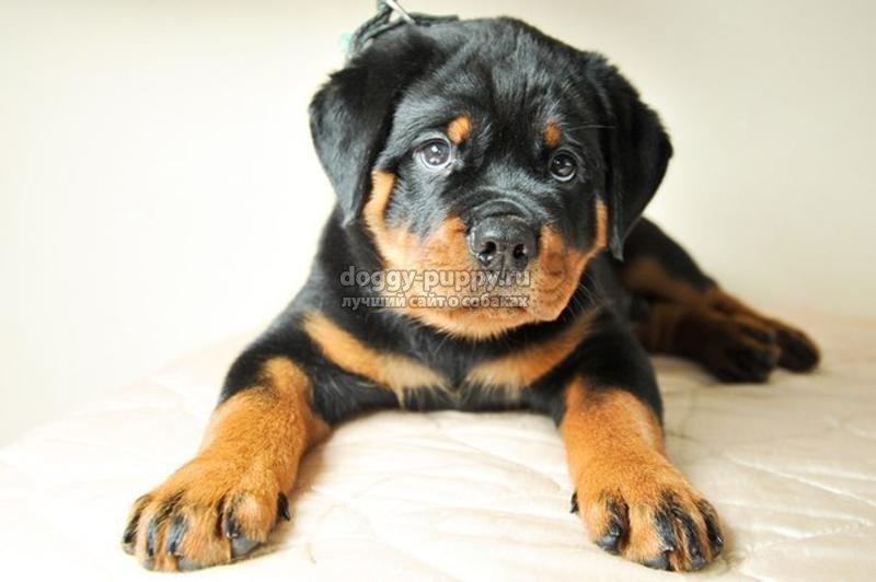 ротвейлер фото собаки щенки