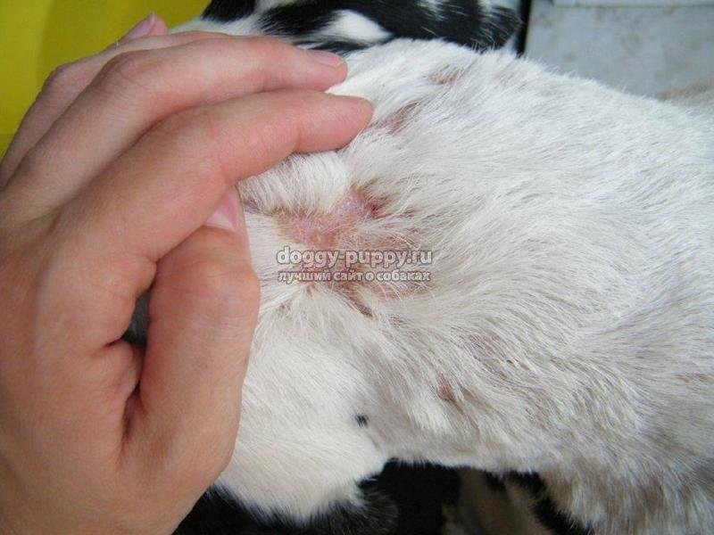 как лечить лишай у собаки: фото и полезные советы