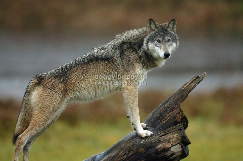 охранные собаки: ТОП-10 пород с фото